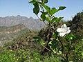 White flower (5750152909).jpg