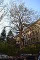 Wiener Naturdenkmal 692 (Währing) e.JPG