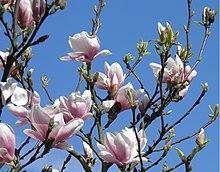 magnolien wikipedia. Black Bedroom Furniture Sets. Home Design Ideas