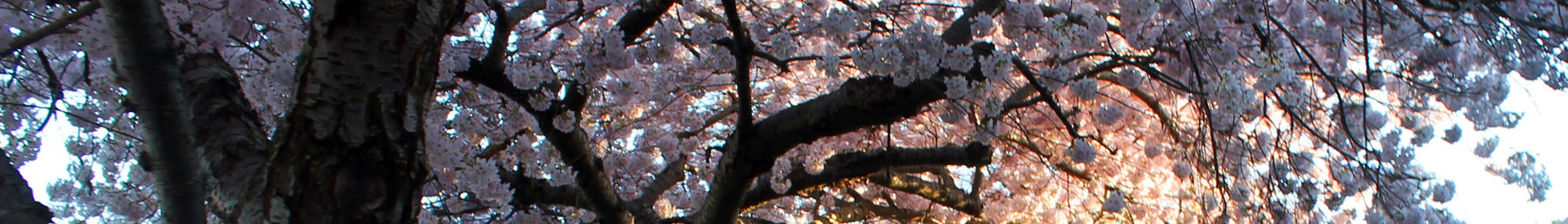 Wikivoyage page banner tree blossom 3.jpg