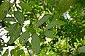 Wild Cinnamon (Cinnamomum sp.) leaves (23811007915).jpg