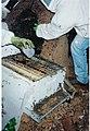Wild Honeybee5.jpg