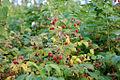 Wild Rubus idaeus.jpg