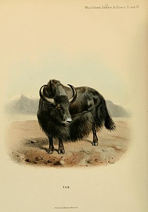 Wild yak - Image: Wild oxen, sheep and goats of all lands, living and extinct (Plate IV) BHL9370000