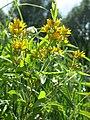 Wildblume an der Isar.jpg