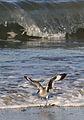 Willet, Tringa semipalmata, Moss Landing and Monterey area, California, USA. (30803410062).jpg