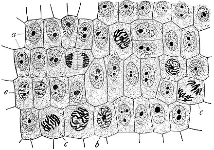 Onion (Allium) cells in different phases of the cell cycle. Growth in an 'organism' is carefully controlled by regulating the cell cycle. Wilson1900Fig2.jpg