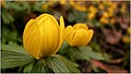 Winter Aconite (6805795938).jpg