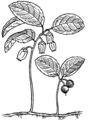 Wintergreen (PSF).png