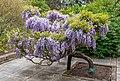 Wisteria sinensis, Christchurch Botanic Gardens, Canterbury, New Zealand 26.jpg