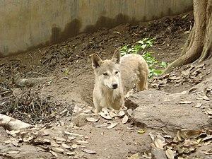 Himalayan Wolf (Canis himalayensis)