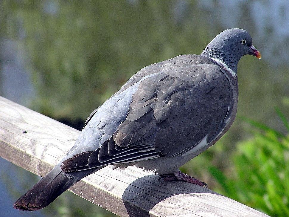 Wood.pigeon.slimbridge.arp