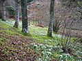 Woodland snowdrops, Dawyck Gardens - geograph.org.uk - 143698.jpg