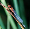 Xanthagrion erythroneurum 2.jpg