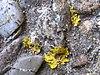 Xanthoria parietina 1.jpeg