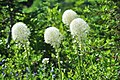 Xerophyllum tenax -Paradise, Mount Rainier, August 2014 - 04.jpg