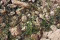 Yaiza Femés - Calle El Filo - Allium roseum 01 ies.jpg