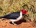 Yellow-billed Cardinal (Paroaria capitata) (27758466553).jpg