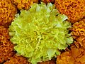 Yellow Chrysanthemum surrounded by Orange Chrysanthemums.jpg