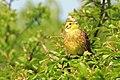 Yellowhammer (Emberiza citrinella) - geograph.org.uk - 416819.jpg