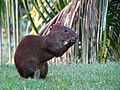 Yet Another Agouti - Flickr - treegrow.jpg