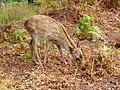 Young deer - panoramio.jpg