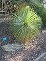 Yucca linearfolia.jpg