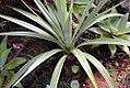 Yucca whipplei 3zz.jpg