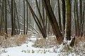 Zakole Wawerskie w Warszawie, las olchowy zimą 004.jpg