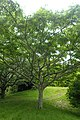 Zanthoxylum ailanthoides kz05.jpg