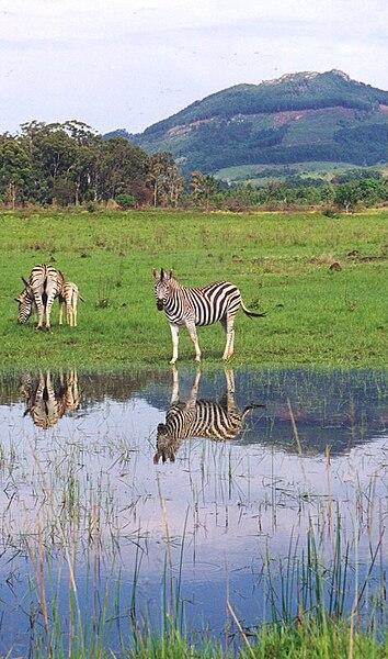 File:Zebras in Swaziland.jpg