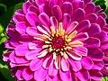 Zinnia Flowers گل آهاری 05.jpg