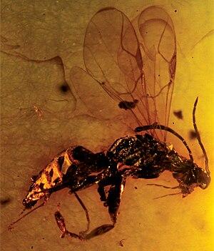 Deinodryinus velteni - Image: Zoo Keys 130 495 g 003 Deinodryinus velteni