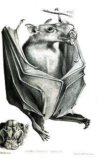 Hammer-headed bat species of mammal
