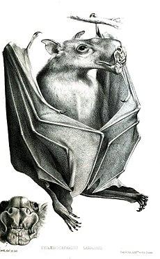 ZygaenocephalusLabrosusFord.jpg