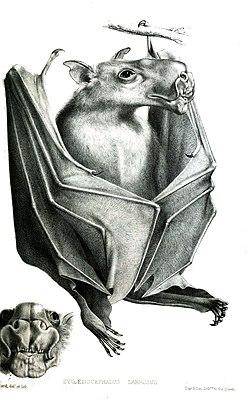 Hammerkopf Flughund Wikipedia