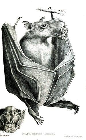 Hammer-headed bat - Image: Zygaenocephalus Labrosus Ford