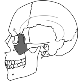 Zygomatic Bone Simple.png