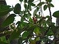 """Fruits of banyan tree"".JPG"