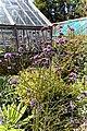 'Verbena bonariensis' Victorian garden Quex House Birchington Kent England 1.jpg