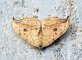 (1648) Pebble Hook-tip (Drepana falcataria) (9447394187).jpg