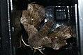 (1981) Poplar Hawk-moth (Laothoe populi) (3588393790).jpg