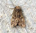 (2154) Cabbage Moth (Mamestra brassicae) - Flickr - Bennyboymothman (1).jpg