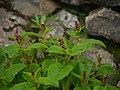 ¿ Aconogonum rumicifolium ? (7855316634).jpg