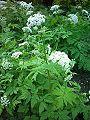 Świerząbek orzęsiony Chaerophyllum hirsutum.jpg