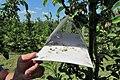 Вирощування яблуні 2.jpg