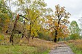 Група багатовікових дубів, Чернігів, урочище Маліїв рів.jpg
