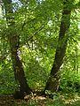 Два дерева - panoramio.jpg