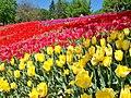 Друга виставка тюльпанів в Києві.jpg