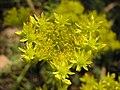 Растения в Седово 020.JPG